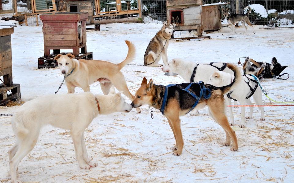 Hundekjøring med hundespann på Beitostølek