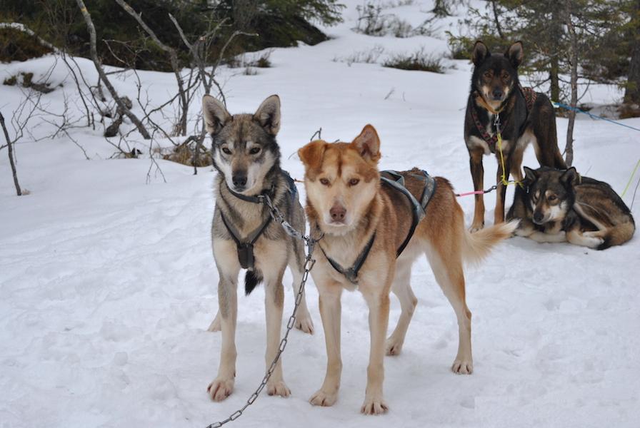 hundekjøring med hundespann på beitostølen12