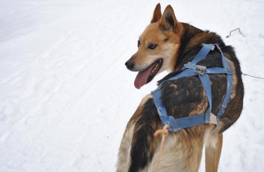 hundekjøring med hundespann på beitostølen6