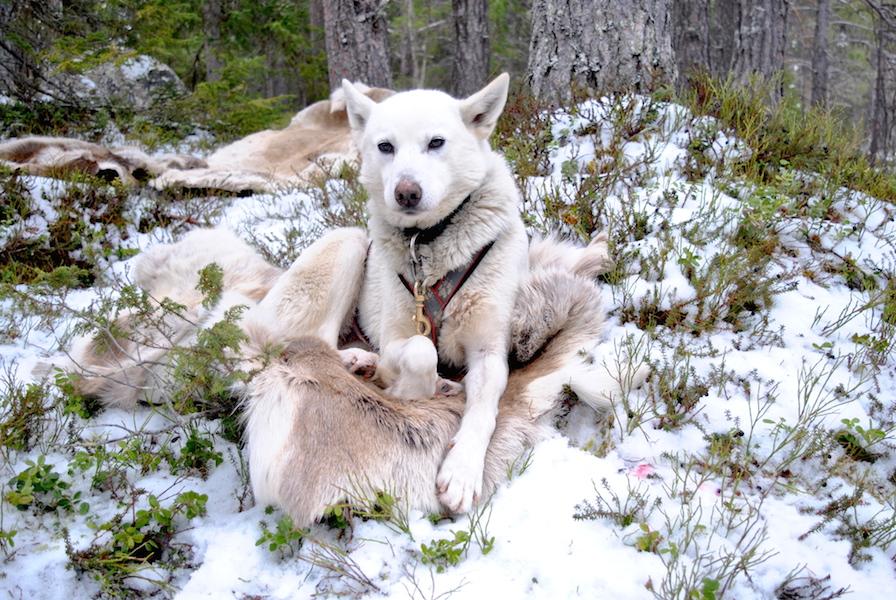 Også hundene hadde varme skinnfeller å kose seg på under lunsjen.